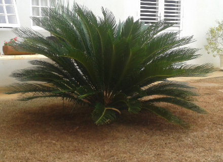 Planta ornamental cica em mar lia sp vender comprar planta for Planta ornamental garbancillo
