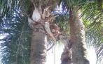 Poda de Árvores e Coqueiros