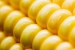 SOJA E MILHO GMO GRANEL E SACAS . PRONTA ENTREGA