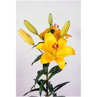 Lírio Asiático Dazzle Amarelo - Cartela Com 2 Bulbos