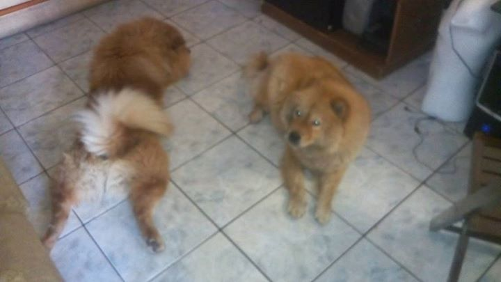 Chow Chow Disponivel