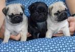cachorros de pug de teacup para adoção gratuita