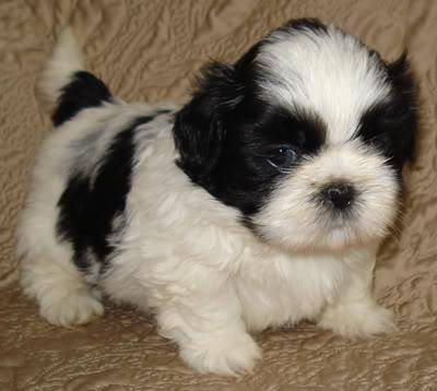 Shihtzu Puro Machinho