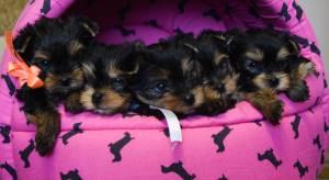Presente do yorkshire terrier