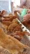 Vendas galinhas poedeira caipira