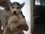 Filhotes de Husky siberiano a venda lindos olhos azuis
