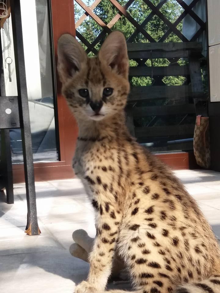 gatinhos Savannah Serval disponíveis e Caracal