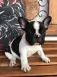 Bulldog Francês Macho com Pedigree